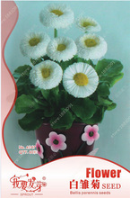 Original packaging white daisies seeds dwarf bellis perennis seeds bonsai feverfew daisy chrysanthemum flowers seeds - 60 pcs