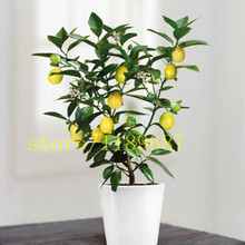20 bonsai lemon tree seeds ,mini fruit bonsai tree fast grow NO-GMO health for body flower pot planters