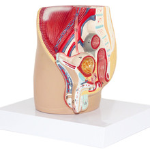 Men Procreation Urinary System Model Male Pelvis Anatomical Structure Model with Numbers Prostate Medical Teaching 15*13*15cm(China)