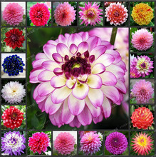 50/Bag Rare Dahlia Flower Mixed Colors Dahlias Seeds Gorgeous Flower For DIY Home Garden Flower Symbolizes Good Luck