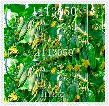 100 pcs japanese mini cucumber vegetable seeds organic NO-GMO seeds for home garden