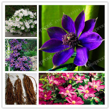 True Color Mixing Clematis Bulbs,Clematis Flower,(Not Clematis Seeds),Outdoor Plant,Natural Growth,Bonsai  Home Garden 2 Bulbs
