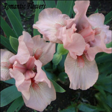 Free Shipping , Hot Selling , Pink Iris Seeds, Popular Perennial Garden Flower ,Gorgeous Cut Flower , 20 Particle / Bag