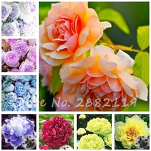 20 pcs/bag Peony Seeds Bonsia Tree Seeds Chinese Rose Beautiful Flower Seeds Potted Plant for Home Garden Decoration
