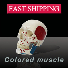 Medical science colored muscle origins and insertions  in half head life size plastic skull model