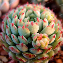 High Quality Mixed Echeveria Cactus Seeds 100pcs Succulents Plants Bonsai Seeds DIY Home Garden Potted prevent radiation Plant