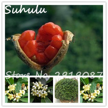 20particles Pittosporum Tobira Seeds Australian Laurel Tree Seeds Japanese Mock Orange Cheesewood Diy Home Garden(China)