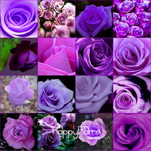 New Seeds 2017!10 Pcs/Pack cheap rare burpee perfume Colors Purple Rose Seed flower seeds home gardening Outdoor plants garden,#(China)