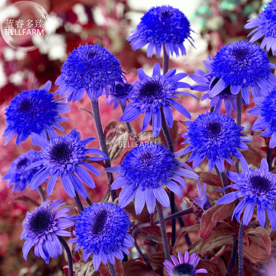 Us 159 Bellfarm Echinacea Dark Blue Perennial Flower Seeds 30