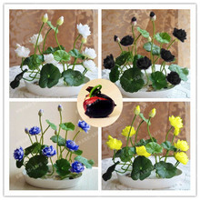 10pcs/pack Bowl Lotus Seed Hydroponic Plants Aquatic Plants Flower Seeds Pot lotus Water Lily Seeds Bonsai Garden
