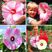 100 Giant Hibiscus Flower Seeds DIY Home Garden potted or yard flower seeds plant  seeds easy to grow for home garden seeds