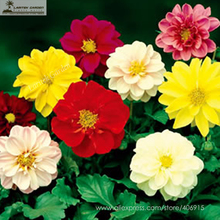 Mixed 9 Colors Dwarf Dahlia Flower Seeds 30+ Red Yellow Orange Pink Dark Red etc Mixed