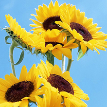 1 Pack 20 Seeds New Cosy Japan Sunflower Helianthus Annuus Flower Seed Low Price(China)