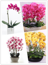 25 Kinds Phalaenopsis Orchid suite living room interior decoration flowers potted 100 seeds Potted Seeds Senior Bonsai Plants