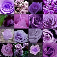 Rose 200 Seeds Cheap Rare Purple Rose Flower Seeds Polyantha Outdoor House Plants Creepers Garden(China)