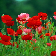 Flower seeds Corn poppy seeds Beautiful garden Bonsai balcony flower Corn poppy Flower Home Garden decoration Plant 30pcs D024