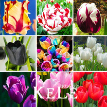 Big Sale, (10 pieces/pack) Tulip seeds,Tulipa gesneriana,potted plants, planting seasons, flowering plants,#Q8UBU4(China)