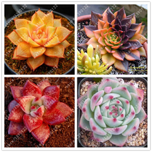 100pcs/bag succulent seeds rare lithops seeds bonsai flower seeds echeveria plant potted plant for home garden