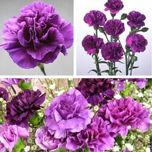 Magenta Carnation Caryophyllus Flower Seeds garden decoration  20 pcs A025