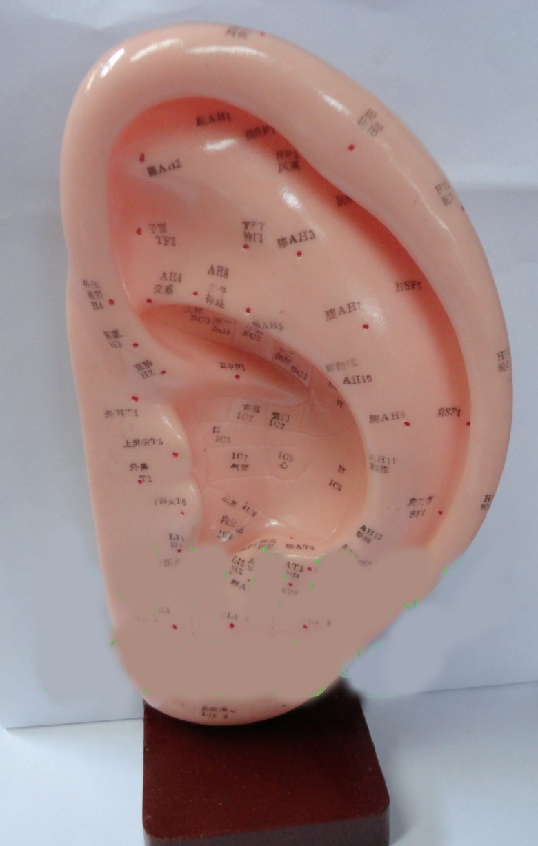 22 cm standard ear acupuncture model with English code ear model acupuncture model(China (Mainland))