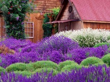 flower seeds English Lavender Seeds, Lavender Angustifolia, Vanilla Seeds of Native Species garden decoration plant 20Pcs s17(China)