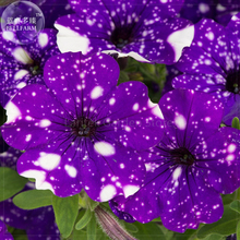 Petunia Blue Sky Petunia Seeds, 200 Seeds, Professional Pack, annual blue petals with white spot flowers E4136