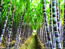 Free Shipping 100pcs Vegetable and fruits seeds Sugar cane seeds Are rich in sugar sugarcane seed Bonsai plants Seeds