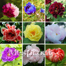 New Arrival! Chinese Suffruticosa Flower Seeds Peony Garden Plants And Garden Blue Green Yellow Red Black White Purple Peony See