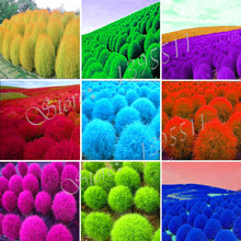 100 pcs Grass seeds Perennial  Grass Burning Bush Kochia Scoparia Seeds Red Garden Ornamental Free Shipping