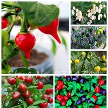 200 Pcs/bag Organic Rainbow Bell Pepper seeds (Chili Seeds),Chinese Vegetable Seeds Non-GMO Bonsai Tree Seeds Plant for Home Gar