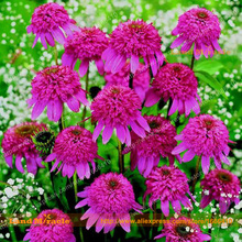 100% Real Bush's Purple Coneflower Flower Seeds, 20 Seeds/Pack, Echinacea Purpurea Seed Bonsai Seed DIY Home Garden-Land Miracle(China)