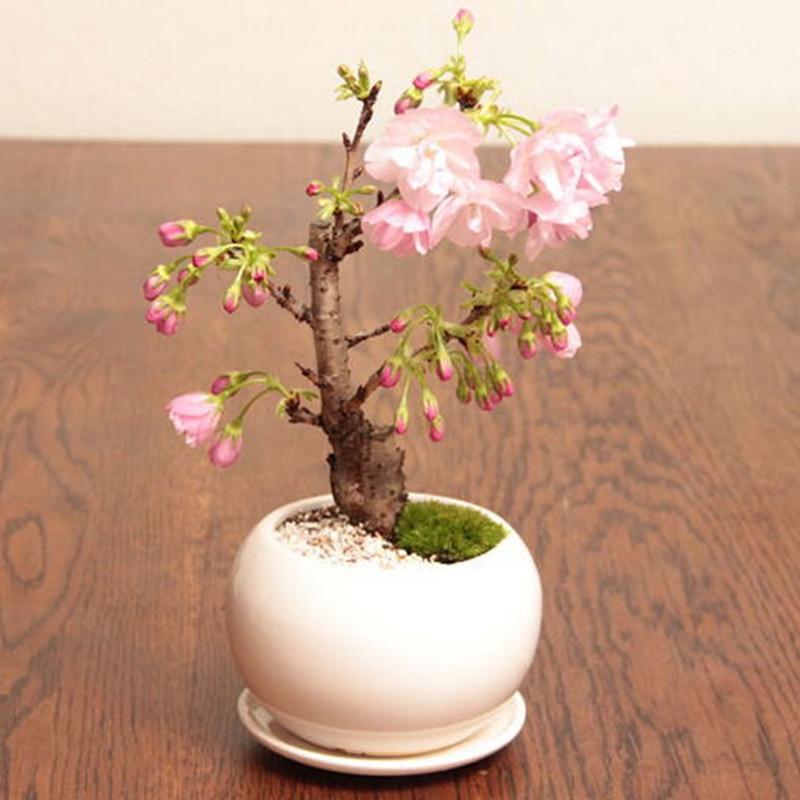 Условия для выращивания сакуры 831