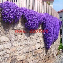 Creeping Thyme or 100pcs Blue ROCK CRESS seeds - Perennial Ground cover garden decoration Flower Soil planted bonsai home