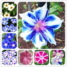 10pcs/bag Picotee Morning Glory Seeds Rare Petunia Seeds Bonsai Flower Seeds Plant for Home Garden Easy to Grow