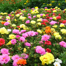 600pcs Flower Seeds Portulaca Grandiflora Seeds DIY Home Garden Bonsai Flower DIY Plant Free Shipping(China)