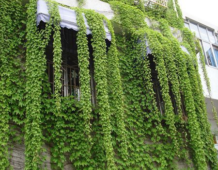 Hot selling 100pcs Green Boston Ivy Seeds Parthenocissus seeds bonsai seeds DIY Home Garden Free