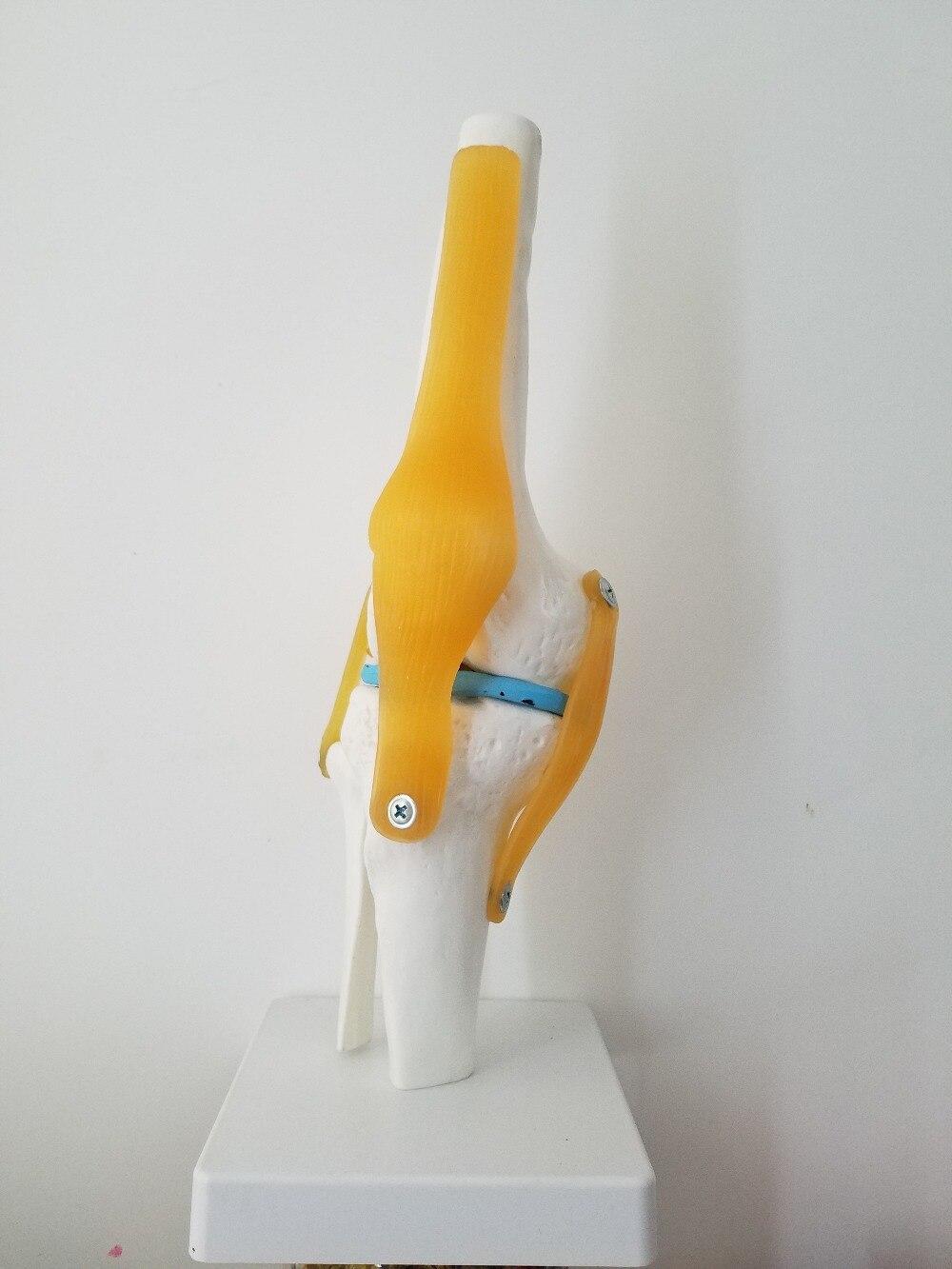 Medical Life Size Human Body Anatomical Knee Joint Ligament Model Bendable  Model<br>