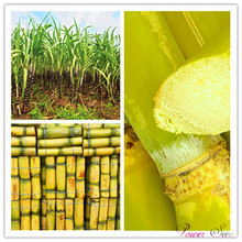 100pcs Vegetable and fruits seeds Sugar cane seeds Are rich in sugar sugarcane seed Bonsai plants Seeds for home & garden 100(China)