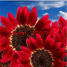20pcs Flowers Fortune Sunflower Fortune Sunflower Seeds Flowers Seeds Red Sun Fortune Bloom Garden Seeds Bonsai Plants Seeds