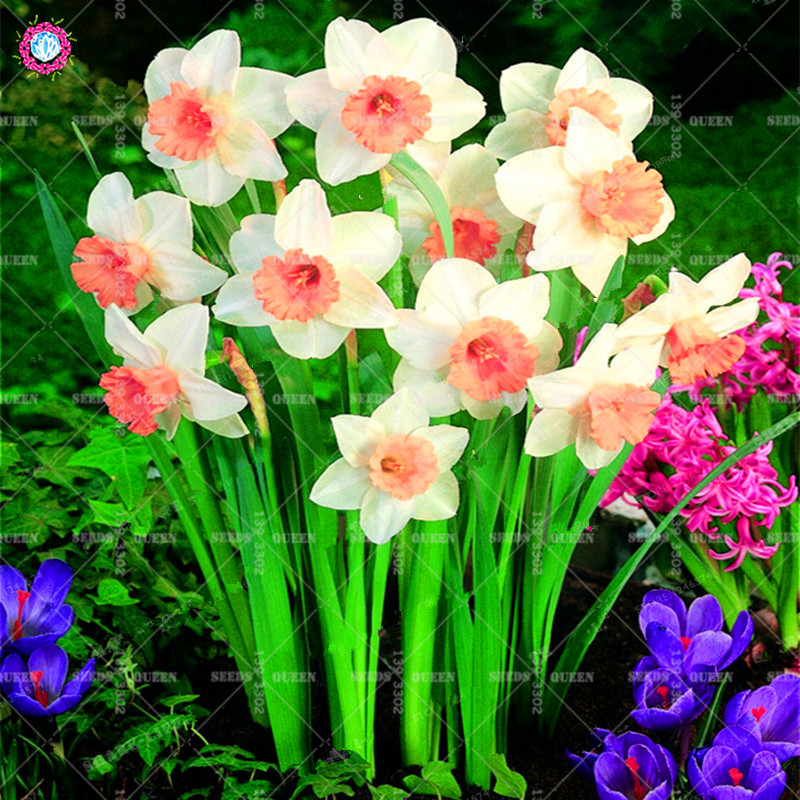 Best-Selling-Beautiful-Narcissus-Flower-Balcony-Plants-Daffodil-Seeds-Absorption-Radiation-Narcissus-Tazetta-Seeds-100-PCS (1)_