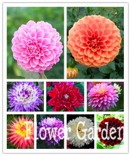 24 Kinds of Dahlia Seeds, Type flower bulb dahlia pachyderms flower dahlia bulbs seeds bonsai flowers - 100 pcs seeds,#PV44NW
