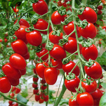100pcs/bag cherry tomato seed. Rare Balcony Organic fruits vegetables seeds Bonsai Potted plant (red,yellow)Tomato seeds(China)