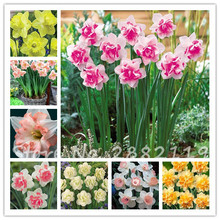 Free shipping100pcs/bag Narcissus (daffodil) seeds,not daffodil bulbs,bonsai flower seeds Absorption Radiation plant home garden(China)