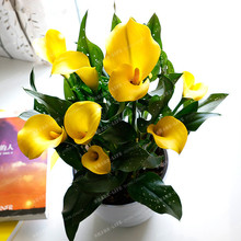 Flower Seeds 100 PCS China Multi-Color Calla Lily Bonsai Seed, Rare Plants Flowers Home Gardening DIY Garden Supplies