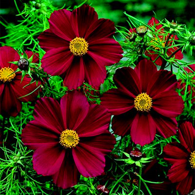 100 Seeds/bag Rare Chocolate Cosmos Flower Seeds-blooms All Summer Long And Has Rich Scent Like Chocolate Diy Home Garden Flower(China (Mainland))