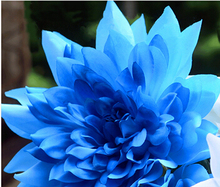 free ship Promotion!10 seeds  Blue Dahlia Seeds Beautiful Gardens Dahlia pinnata Bonsai Plant Flower Seeds Perennial