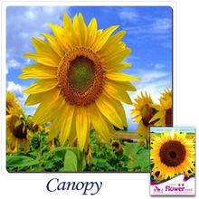 Buy 2 Get 1!(Can accumulate ) 1 Pack 15 Seed France Oli Sunflower Helianthus Annuus Flower A135(China)