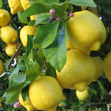 20 unids bonsai lemon tree seeds alta tasa de supervivencia semillas de frutas bonsai lemon semillas para el hogar gatden plantación