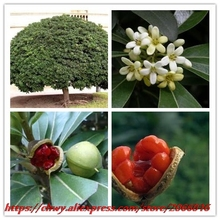 New Home Garden Plant 10 Seeds Pittosporum Tobira Japanese Mock Orange Cheesewood Australian Laurel Tree Seeds Free Shipping(China)