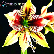 Free Shipping 100 Pcs Cheap Amaryllis Seeds New Barbados Lily Potted Seed Bonsai Balcony Flower Plants Jardin * Garden Sementes